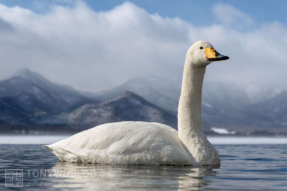 Whooper swan (Cygnus cygnus) visiting wintering grounds in Hokkaido, Japan