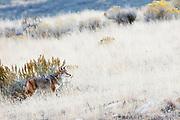 antelop island; utah; salt lake; wildlife; coyote