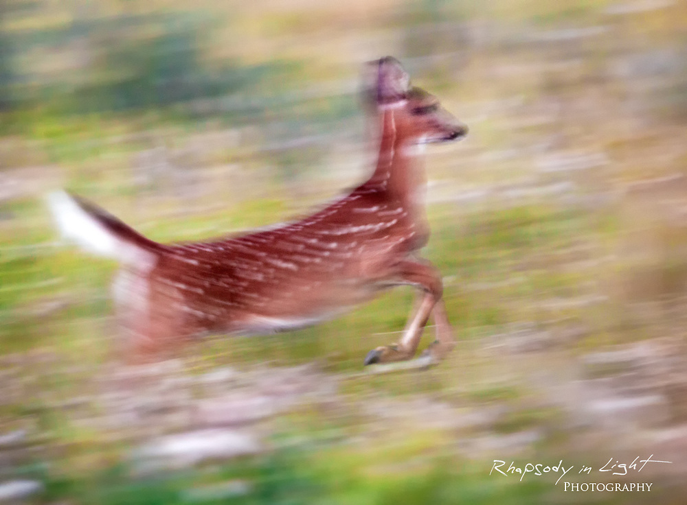 A young deer bounds through an open meadow.