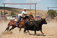 Cowboy ropes cow, Wilsall Ranch Rodeo, Montana, Wild Cow Milking, Marc Brogger, MODEL RELEASED, PROPERTY RELEASED