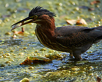 Green Heron (Butorides virescens) with a fish for lunch. Sourland Mountain Preserve. Image taken with a Nikon D4 camera and 600 mm f/2.8 lens.