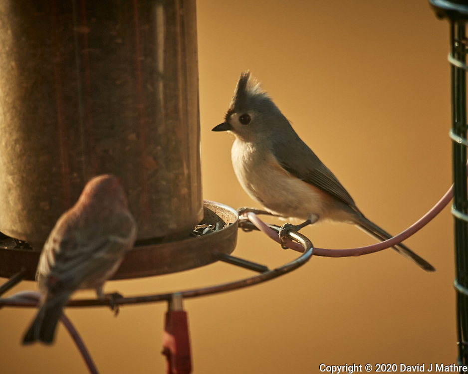 Tufted Titmouse. Image taken with a Nikon D5 camera and 600 mm f/4 lens (ISO 220, 600 mm, f/4, 1/1250 sec).