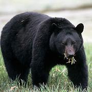 Black Bear (Ursus americanus).  An adult in southeastern Alaska.