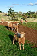 Oceania; Australia; Australian; Down Under; Tasmania, sheep pasture,