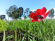 Israel, A field of red Anemone coronaria AKA Spanish marigold or Kalanit (in Hebrew)