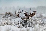 Big Bull moose in heavy snow storm in Jackson Hole.