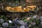 Polypore Antrodia crassa growing on side of fallen dead spruce, forests around River Amata, near Skujene, Latvia Ⓒ Davis Ulands | davisulands.com