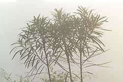 Pseudopanax ferox early on a foggy morning in the exotic garden at Great Dixter