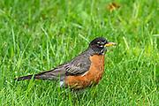 American robin (Turdus migratorius) on grass<br />Winnipeg<br />Manitoba<br />Canada
