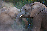 Two desert-adapted elephant sub-adults (Loxodonta africana) mock fight and play ,Skeleton Coast, Namibia,Africa