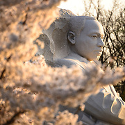 The early morning sun captures cherry blossoms in bloom next to the statue of the Martin Luther King Jr Memorial on the Tidal Basin in Washington DC.