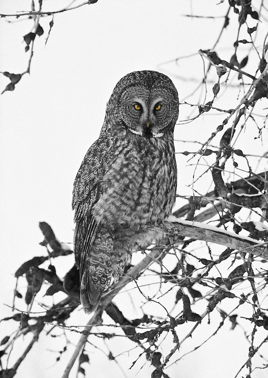 The great grey owl or great gray owl (Strix nebulosa) is a very large owl, documented as the world's largest species of owl by length.It is distributed across the Northern Hemisphere, and it is the only species in the genus Strix found in both Eastern and Western Hemispheres. Licensing and Open Edition Prints.