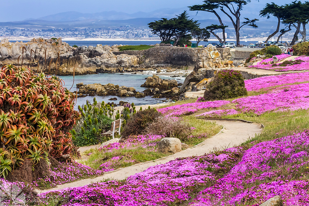 Magic Pink Carpet flowers along the Pacific Grove, California shoreline walking trail ner Lovers Point.