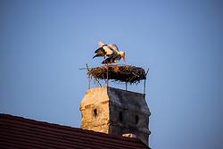 THEMENBILD - Die Freistadt Rust am Neusiedlersee wird auch Hauptstadt der Stoerche genannt. Der Weissstorch (Ciconia ciconia) zaehlt zu den groessten Landvoegeln Europas. Das Federkleid ist bis auf die schwarzen Schwungfedern rein weiss. Schnabel und Staender sind rot. Hier im Bild ein Weissstorch klappert mit seinem Schnabel in seinem Nest am Kamin eines Ruster Wohnhauses am Dienstag 15. September 2020 in Rust // The free city of Rust on Lake Neusiedl is also called the capital of the storks. The white stork (Ciconia ciconia) is one of the largest land birds in Europe. The plumage is pure white except for the black flight feathers. Beak and pennants are red. Here in the picture a white stork rattles with its beak in its nest on the chimney of a house in Rust on Tuesday 15 September 2020. EXPA Pictures © 2020, PhotoCredit: EXPA/ Johann Groder