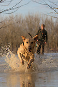Yellow Labrador retriever and duck hunter in a shallow marsh.