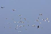 Spoonbills and herons in flight, Ars en Re, Ile de Re, France