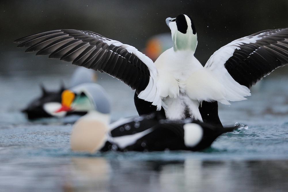 Eurasian eider duck male, Somateria mollissima, with King eider duck males, Somateria spectabilis, both in front and behind, Båtsfjord village harbour, Varanger Peninsula, Norway, Scandinavia