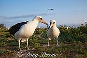 Laysan albatross, Phoebastria immutabilis, courtship, Sand Island, Midway Atoll, Midway National Wildlife Refuge, Papahanaumokuakea Marine National Monument, Northwest Hawaiian Islands, USA ( North Pacific Ocean )