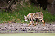 Bobcat in Texas drinking