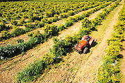Removing weeds in an Avocado Plantation. Photographed in Israel in March