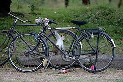 Toque Macaque Investigating Bicycle