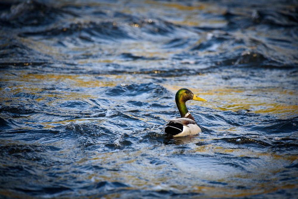 Mallard duck on the Madison River