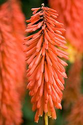 Kniphofia 'Samuel's Sensation' AGM. Red Hot Poker, Torch Flower