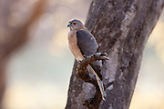 Shikra Hawk bird of prey, Accipiter Badius, in Ranthambhore National Park, Rajasthan, Northern India