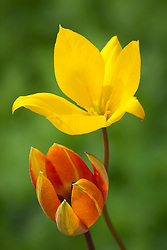 Tulipa sylvestris with Tulipa 'Whittallii'