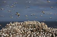 Gannet (Morus bassanus) Colony, Saltee Islands, Ireland
