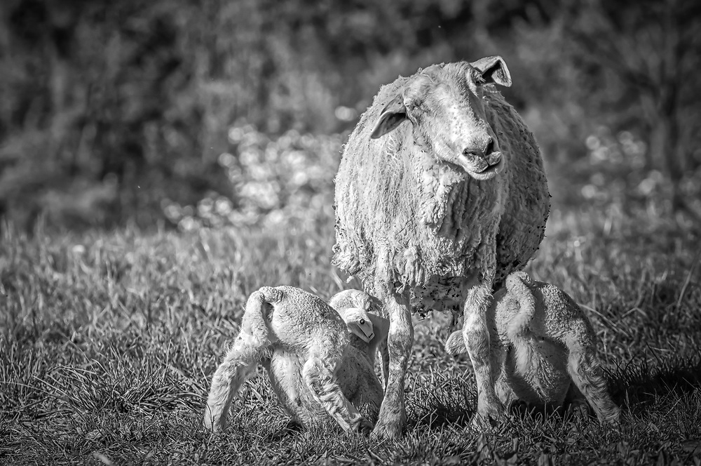 """This shot of ewe and her twin lambs made me smile.  I swear that's a look that says...""""here we go again""""."""