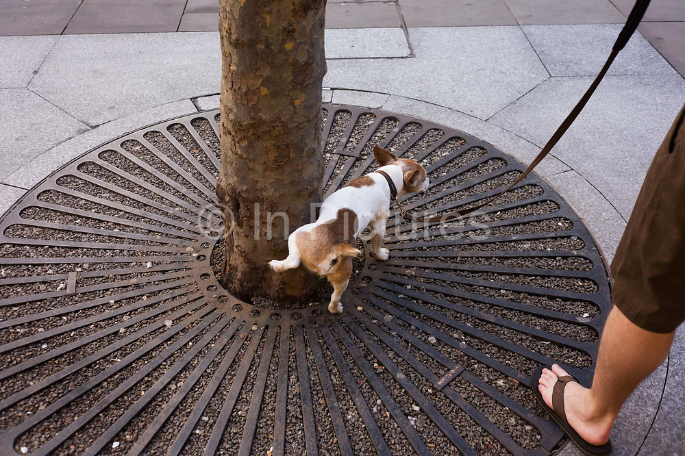 While held on a leash by its owner, a pet dog pees against the base of a city tree in central London. With leg cocked and pausing to relieve itself, the small terrier stops at a place where other such animals also wee which can be seen by the discoloured, rusting metal grille on the ground, around the base of the tree. A man's foot in a summer sandal is in the corner of the picture as the owner stands, waiting for this natural process to end.