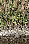 An American alligator partially hides along a marsh at the Donnelley Wildlife Management Area March 11, 2017 in Green Pond, South Carolina. The preserve is part of the larger ACE Basin nature refugee, one of the largest undeveloped estuaries along the Atlantic Coast of the United States.