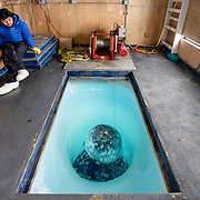 Researcher Umi Hoshijima in #3 Fish Hut accompanied by the Weddell Seal who uses the hut and ice hole as a breathing and rest place