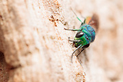 Ruby-tailed wasp (Chrysis sp.) exploring surface of dead oak tree. Surrey, UK.