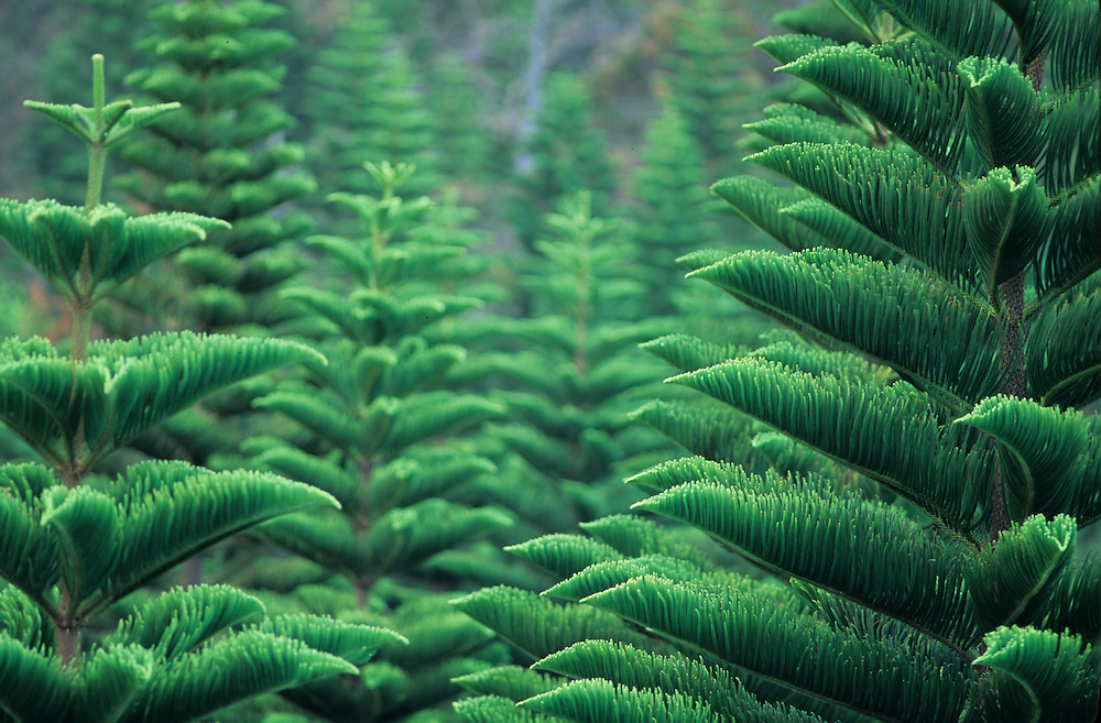 Cook Pine tree forest on the Hawaiian Island of Lanai, Planted by New Zealand nauralist George Munro(1890).