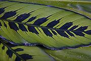 Ti leaf, Hawaii