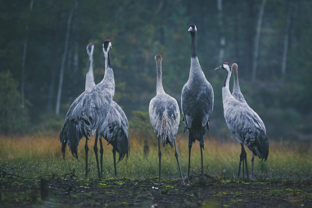 Group of common cranes (Grus grus) with young and adult birds looking almost like at briefing before flight, Kemeri National Park (Ķemeru Nacionālais parks), Latvia Ⓒ Davis Ulands | davisulands.com