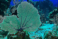 Gorgonian Fan on the North Wall, Grand Cayman