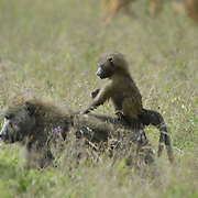 Baby baboon riding proudly on it's mothers back.