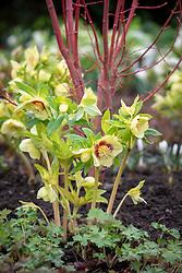 Helleborus x hybridus Ashwood Garden hybrids  planted at base of cornus.