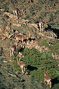 Argali sheep<br /> (Ovis ammon)<br /> Gobi Desert<br /> Mongolia<br /> Range: Pamir to Mongolia & Tibetan Plateau