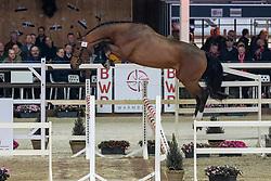 043, Qatar Ter Saleghem<br /> Hengstenkeuring BWP - Lier 2019<br /> © Hippo Foto - Dirk Caremans<br /> 18/01/2019
