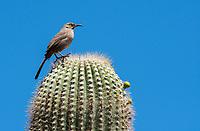 Curve-billed Thrasher, Toxostoma curvirostre, perches on a Saguaro cactus, Carnegiea gigantea, in the Desert Botanical Garden, Phoenix, Arizona