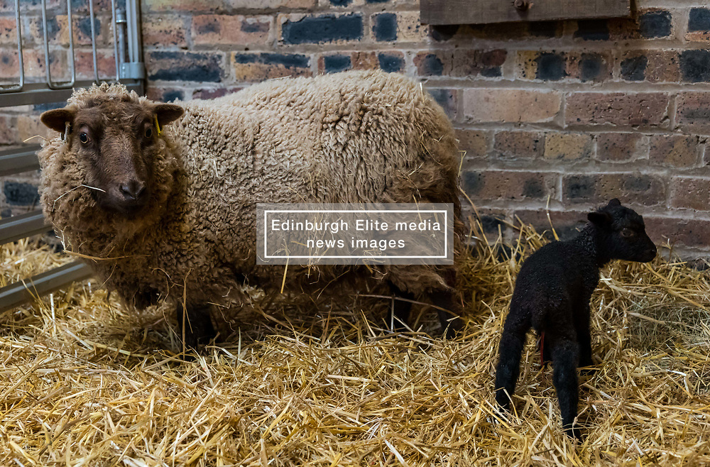 East Lothian, Scotland, United Kingdom. Shetland sheep lambs: Briggs Pure Bred Shetland Lambs maintain flocks in East Lothian and Shetland. Day 2 of lambs being born sees the arrival of a single lamb for one ewe and twins for another; all of them dark. Pictured: this ewe produced only one lamb. <br /> Sally Anderson | EdinburghElitemedia.co.uk