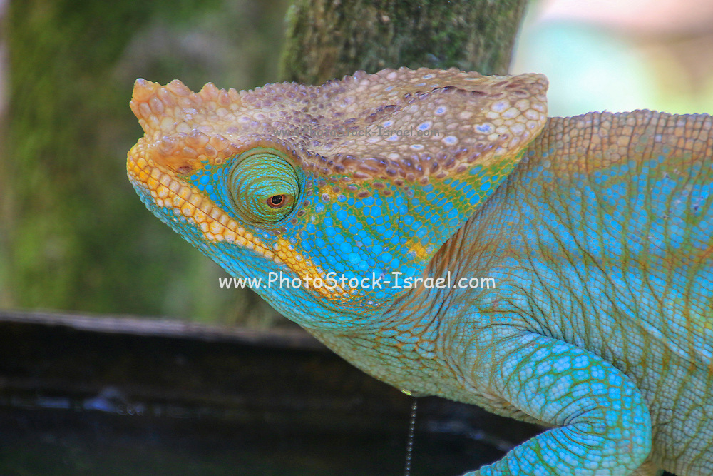 Close up of an Aquamarine Chameleon on a branch. Photographed in Madagascar