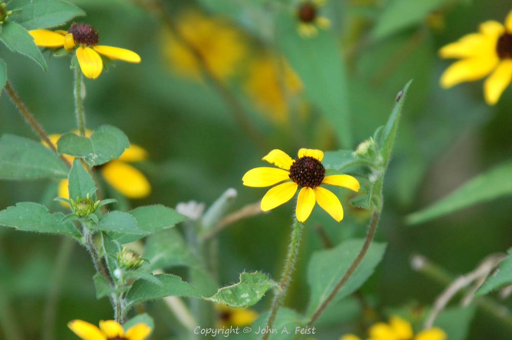 A small piece of a patch of wild black eyed susans.  Hillsborough, NJ.