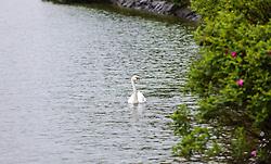 THEMENBILD - ein Höckerschwan schwimmt an einem verregneten Tag, aufgenommen am 23. Mai 2015 am Zeller See, Zell am See, Österreich // a Mute Swan on a rainy Day at the Lake Zell, Zell am See, Austria on 2015/05/23. EXPA Pictures © 2015, PhotoCredit: EXPA/ JFK