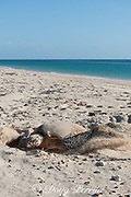 hawksbill sea turtle, Eretmochrlys imbricata, daytime nesting, female covering nest after laying eggs, Delambre Island, Western Australia ( Indian Ocean )