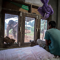 After returning from the elephant safari, Chartou, a mahout looks from his single-room concrete home in Sauraha, Nepal, through the window towards Pawan Kali, the privately-owned elephant that he has lived alongside for four years. <br /> Mahouts usually live 24/7 within five meters of their employer's elephant and do a dangerous job, but while being responsible and caring for an animal worth up to US$80,000 they are commonly undervalued by their employers, earn less than $80 per month and live in basic conditions.